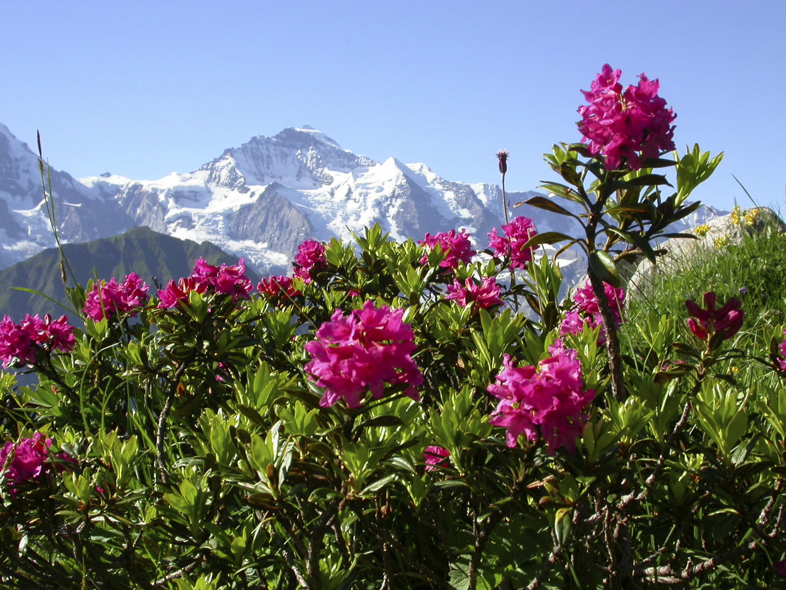 Alpine_Rosee_Active_plant_source